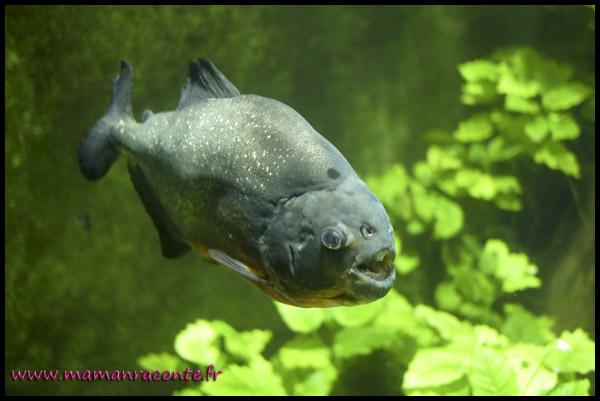 Aquarium de Lyon 4 - piranhas
