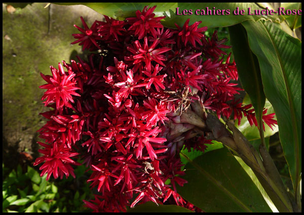7. Le Jardin de Balata (Alpinia purpurata)