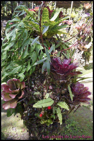 8. Le Jardin de Balata (Alpinia purpurata) (2)