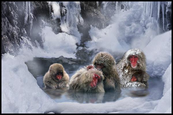 10. singes des neiges - Japon
